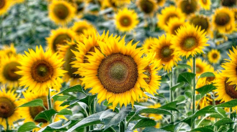 Himawari no Sato – Sunflower field Day Trip