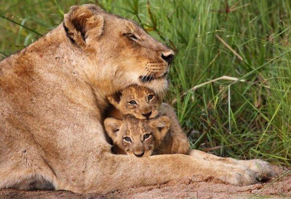 Самые маленькие львы Африканские львы