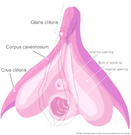 The G-spot is the front part of the internal clitoris
