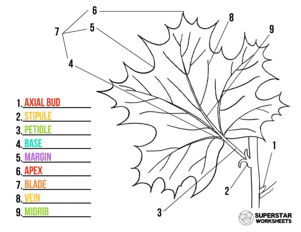Parts Of A Leaf Worksheet