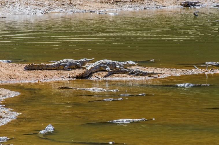 crocodiles windjana gorge
