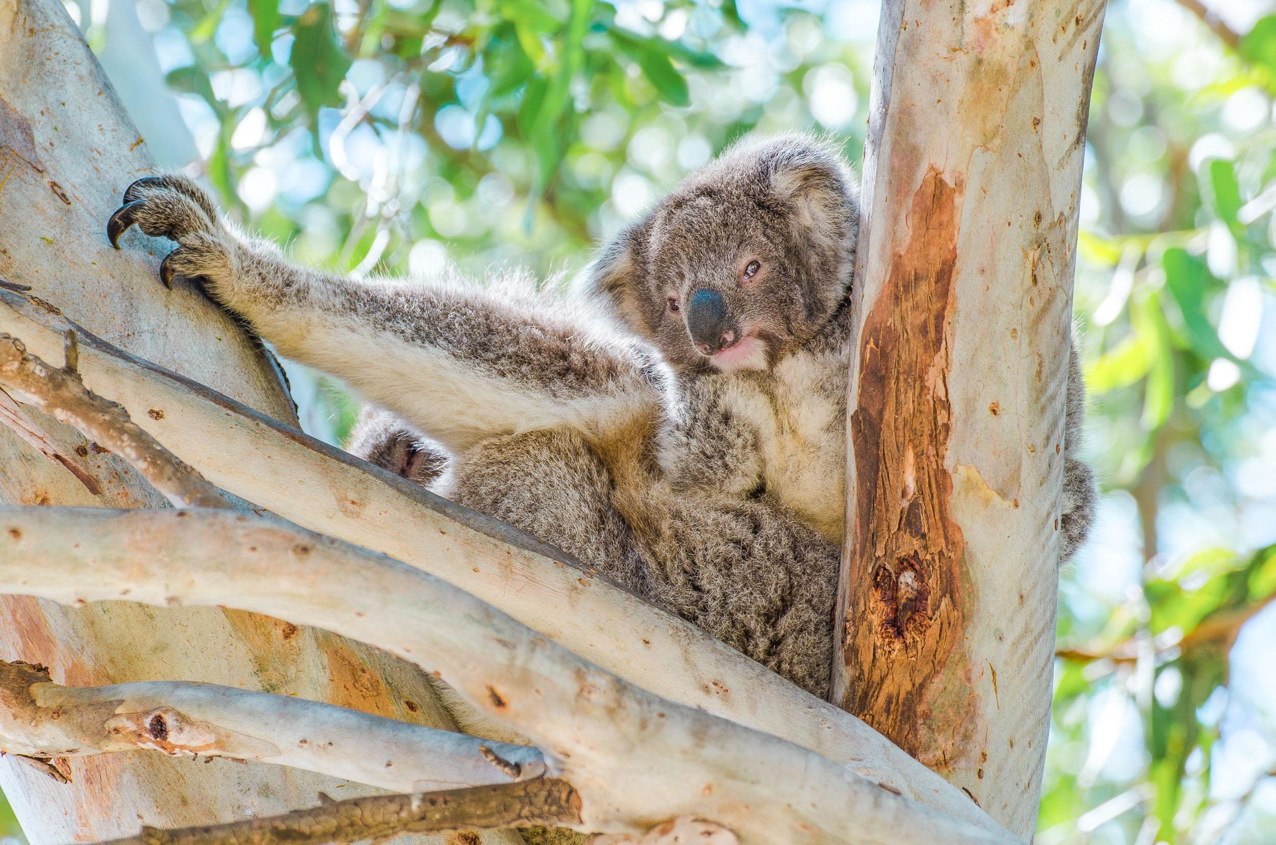 bébé koala raymond island road trip sydney-melbourne