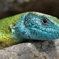 El genoma de las salamandras es hasta 40 veces mayor que el del humano: Investigador del Cinvestav