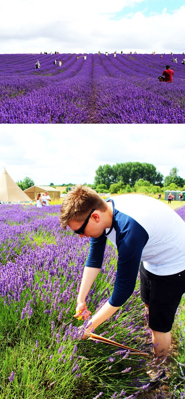 Picking fresh lavender from local lavender fields is a fantastic way to spend the summer holiday for kids and adults! The beautiful fresh cut flowers can be used in a whole host of crafts and recipes including Lavender and Honey Layer Cake!