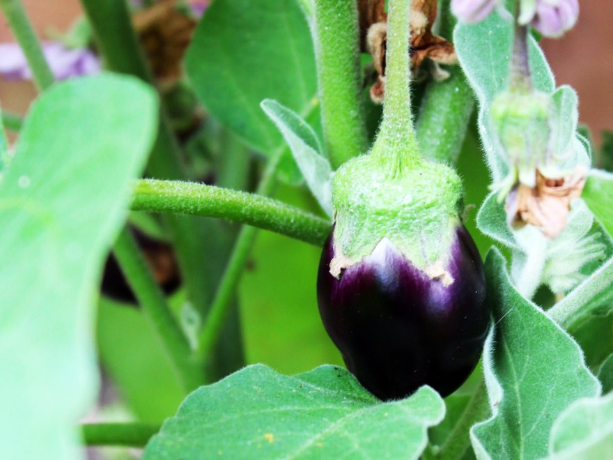 We have had so many aubergines from our Kitchen Garden this year. Find out what else we've harvested in my latest post.
