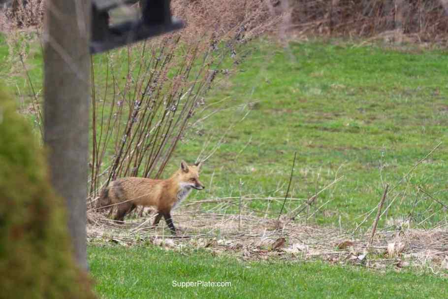 Red fox walking
