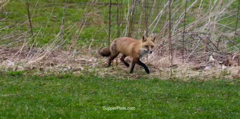 Red fox walking in the field