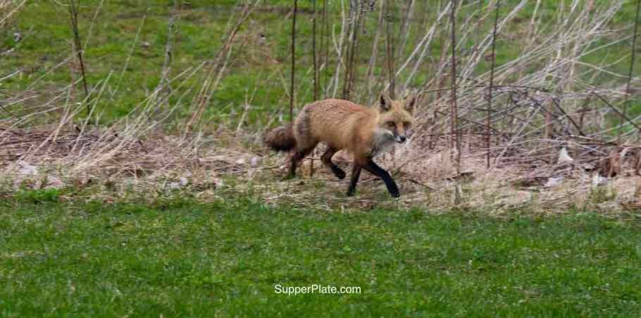 Red fox walking in the field