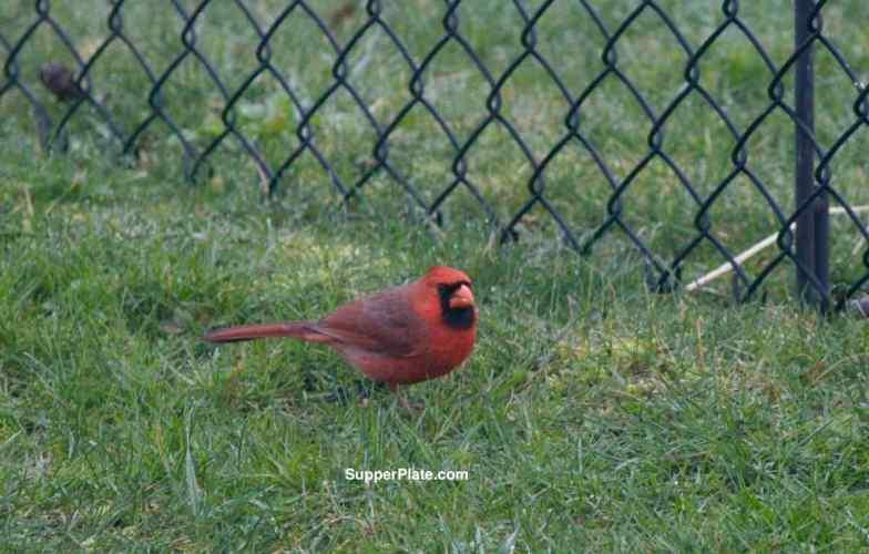 Cardinal on the grass