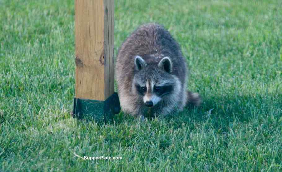 Closeup of a raccoon