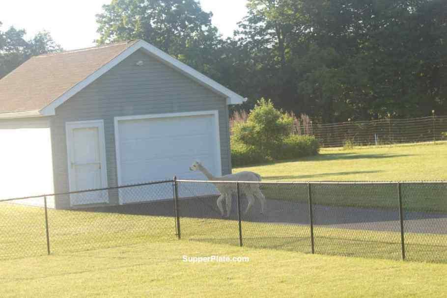 Alpaca walking across driveway