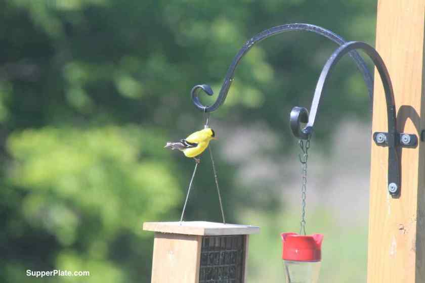 Yellow Finch on a bird feeder