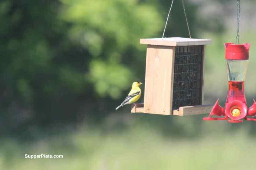Yellow Finch on wooden bird feeder