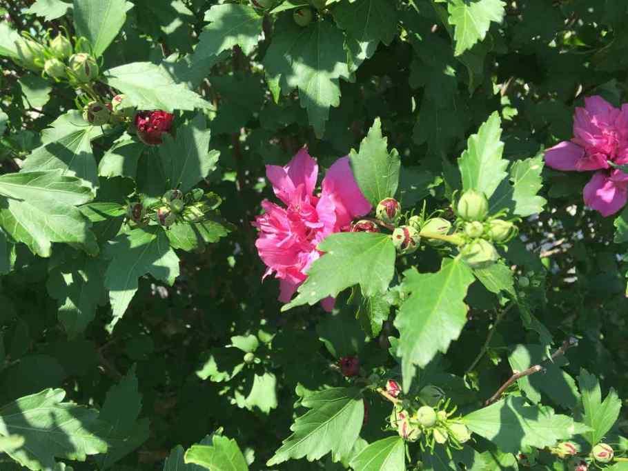 Closeup of rose of sharon flower