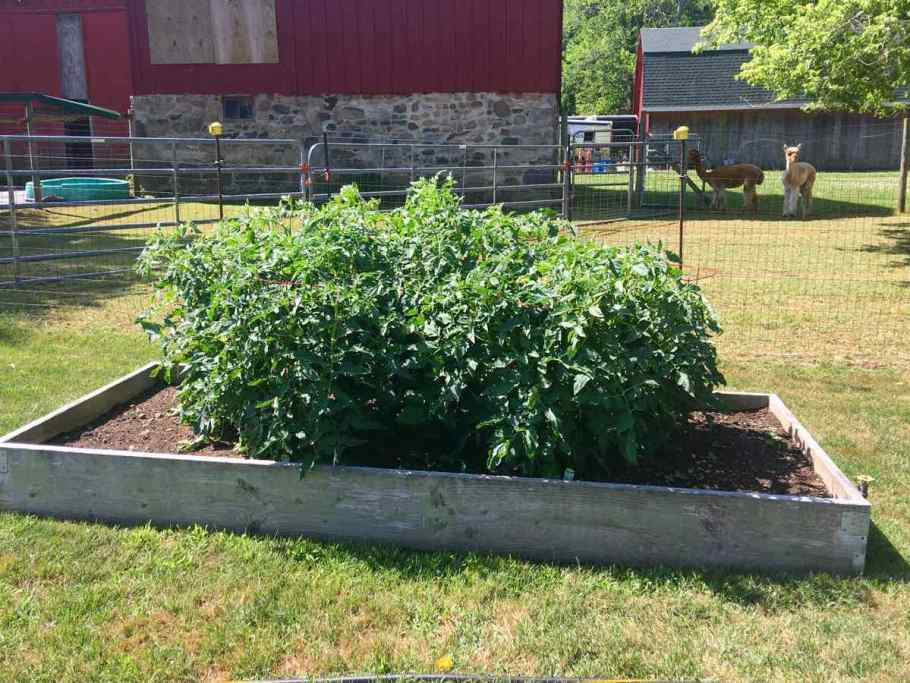 tomato raised garden with alpacas in the background