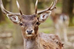 Deer-antler-velvet-research
