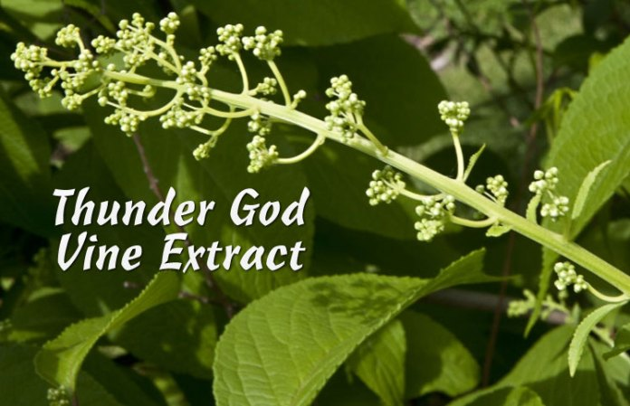 Image result for Thunder god vine is a perennial grown in China and Taiwan. It has been used for hundreds of years in traditional Chinese medicine to treat swelling caused by inflammation.