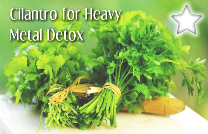 Cilantro For Heavy Metal Detox Natural Herb Removes