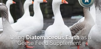 Using-Diatomaceous-Earth-as-a-Geese-Feed-Supplement