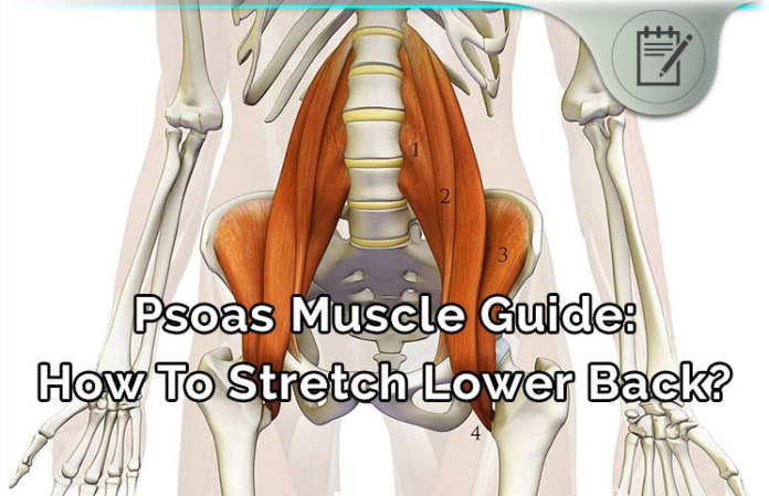 psoas muscle review - lower back pain healing & stretching guide?, Human Body