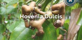 Hovenia Dulcis