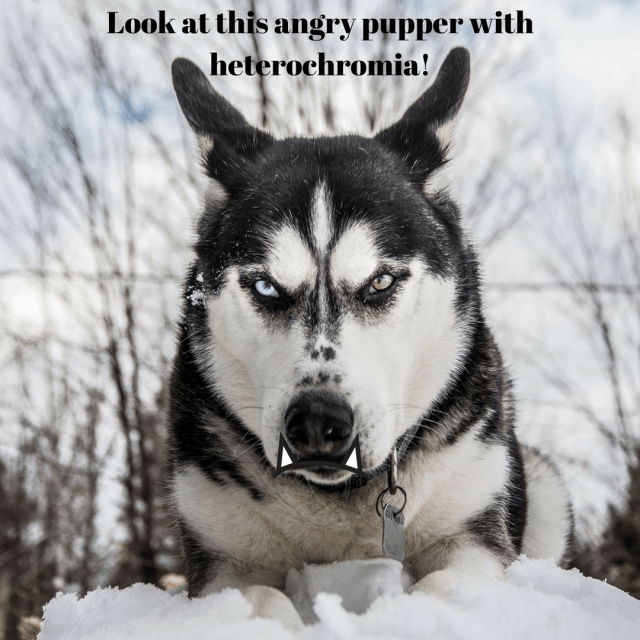 An angry husky with a frowny face, telling me to shut the fuck up. Vitamin D