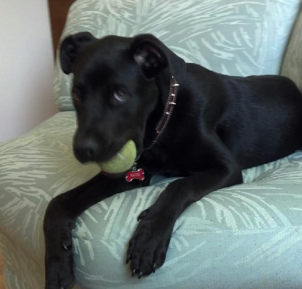 Lost All Black Rottweiler Pup Michigan Humane Society