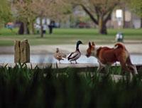 Ducks_dog-200