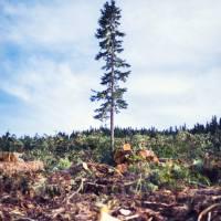 Scorned Timber