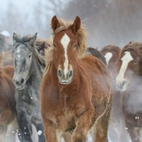 News from Lil'wat Nation: Taking Action about Roaming Horses