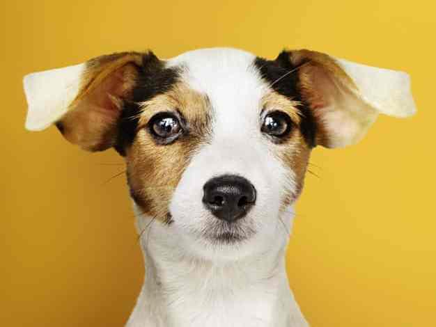 Otite em cães: causas, sintomas e tratamento 1
