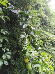 La fruta de maracuya2