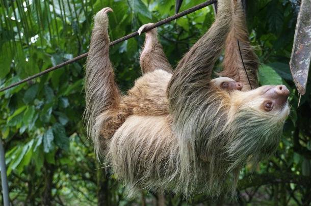Santuario de osos perezosos en peligro por la pina