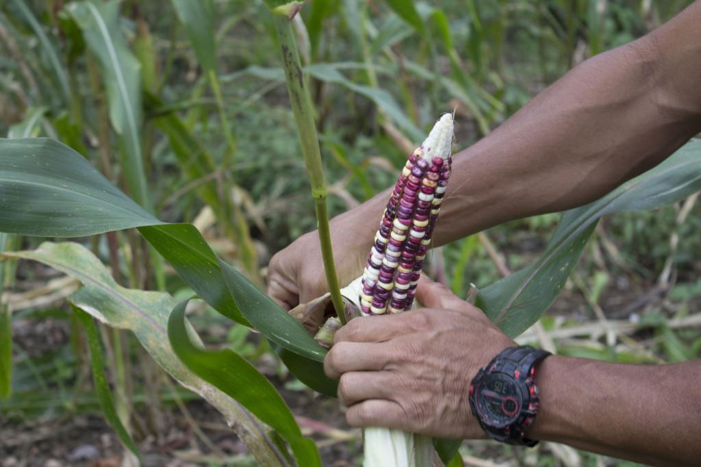 UCR Enciclopedias ilustradas rescatan memoria sobre agricultura indigena2