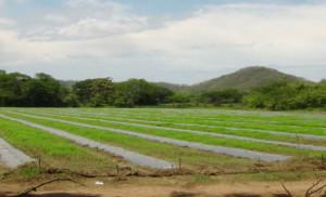 Abangaritos, Puntarenas. Una muestra de los cultivos extensivos en la zona del río Abangares, producción de sandía.