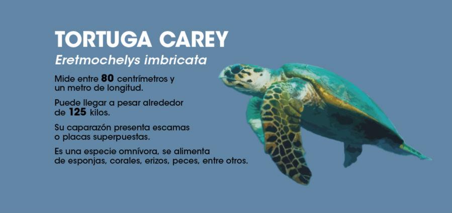 La tortuga carey es una de las especies que llega a las playas del país. Imagen: Rafael Espinoza.