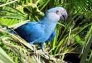 Guacamayo azul, especie que inspiró película de Río, estaría extinto