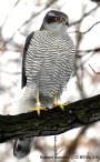 20 Azor común - Birding Murcia