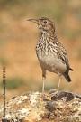 49 Alondra de Dupont - Birding Murcia