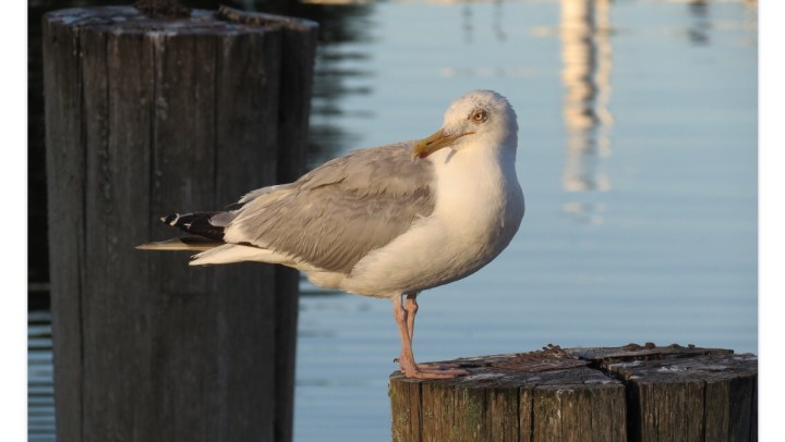 Sea gull on sea posts