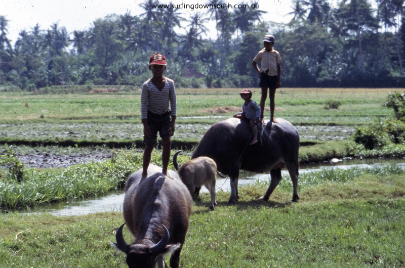 1981-bali-water-buffalo-ric-chan-img821