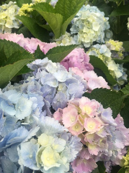 Hydrangea Flower Color   Surfing Hydrangea Nursery  Inc  Not all Hydrangeas are able to change their flower color in the same way   Mop head Hydrangeas  Hydrangea macrophylla  the ones with big  round