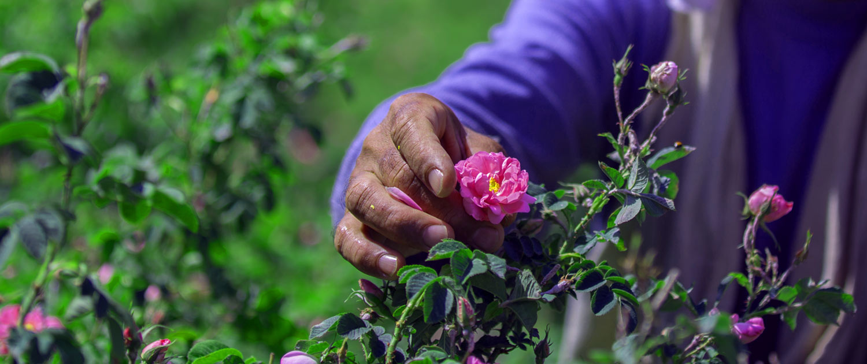 Aromatic Festival of Damask Rose