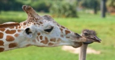 giraffe-kissing-ostrich