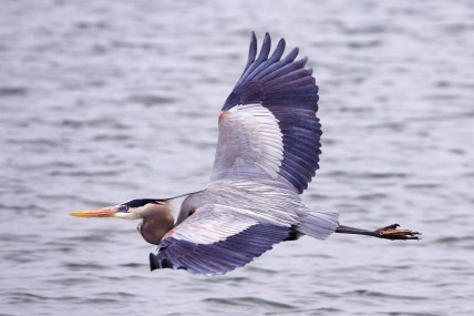 Great_blue_heron flying