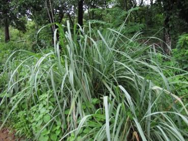 Lemon-Grass-in-Kannur