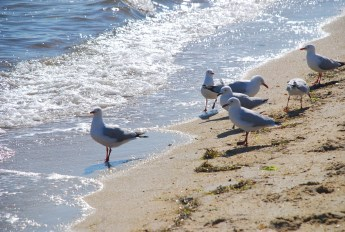 seagulls-at-the-beach