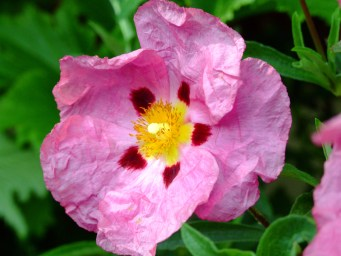 Orchid_Rock-Rose