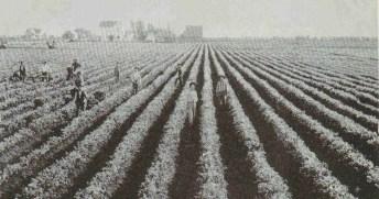 Wintersburg early 1900s celery fields