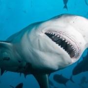 オオメジロサメ